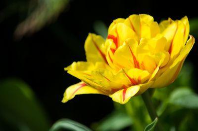 tulip-1477292_1920